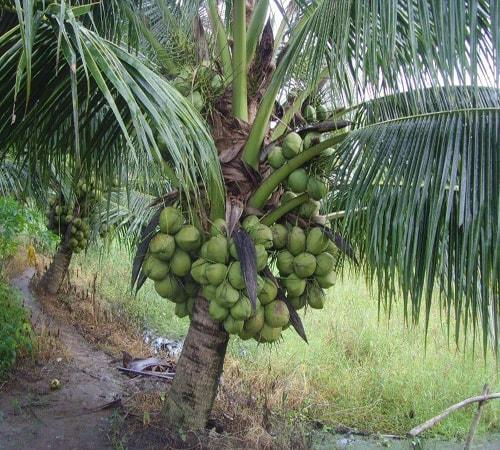 Cây dừa Mã Lai trĩu quả