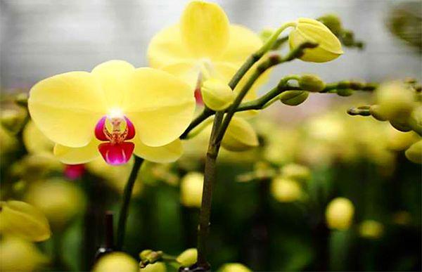 Hoa Lan vàng thích hợp làm quà tặng trong nhiều dịp đặc biệt