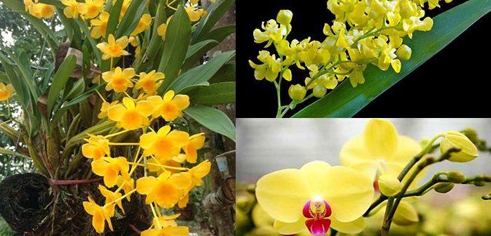 Tìm hiểu ý nghĩa của hoa lan vàng