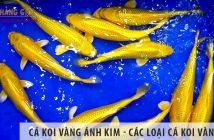 Cá koi vàng ánh kim - Các loại cá koi vàng đẹp