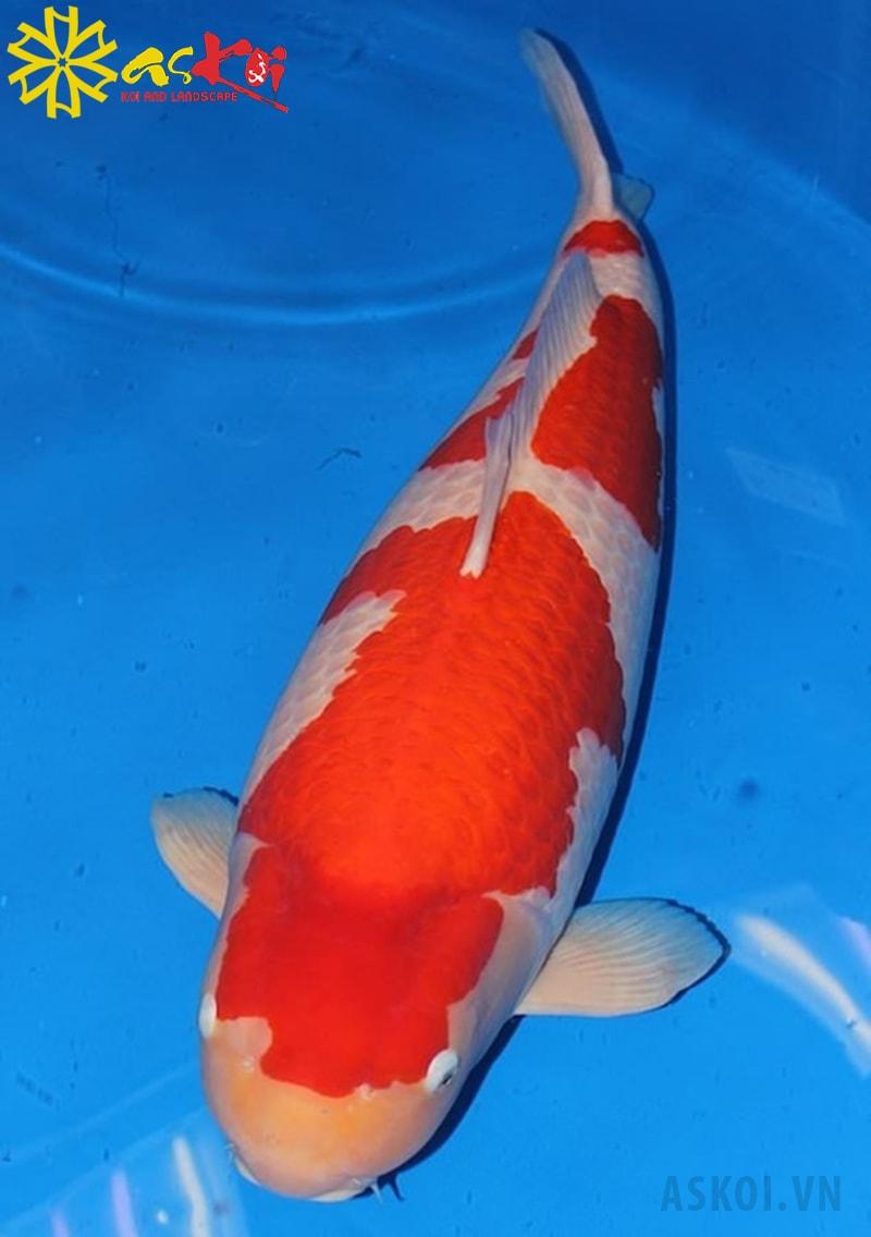 Chú cá koi S. Legend - 42 tỷ đồng