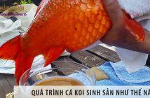 Quá trình cá koi sinh sản như thế nào?